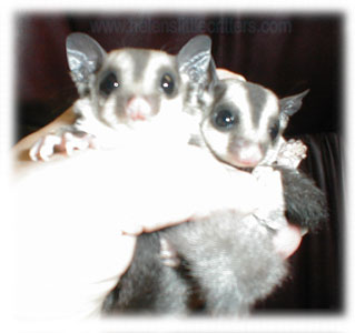 sugar gliders are so cute!